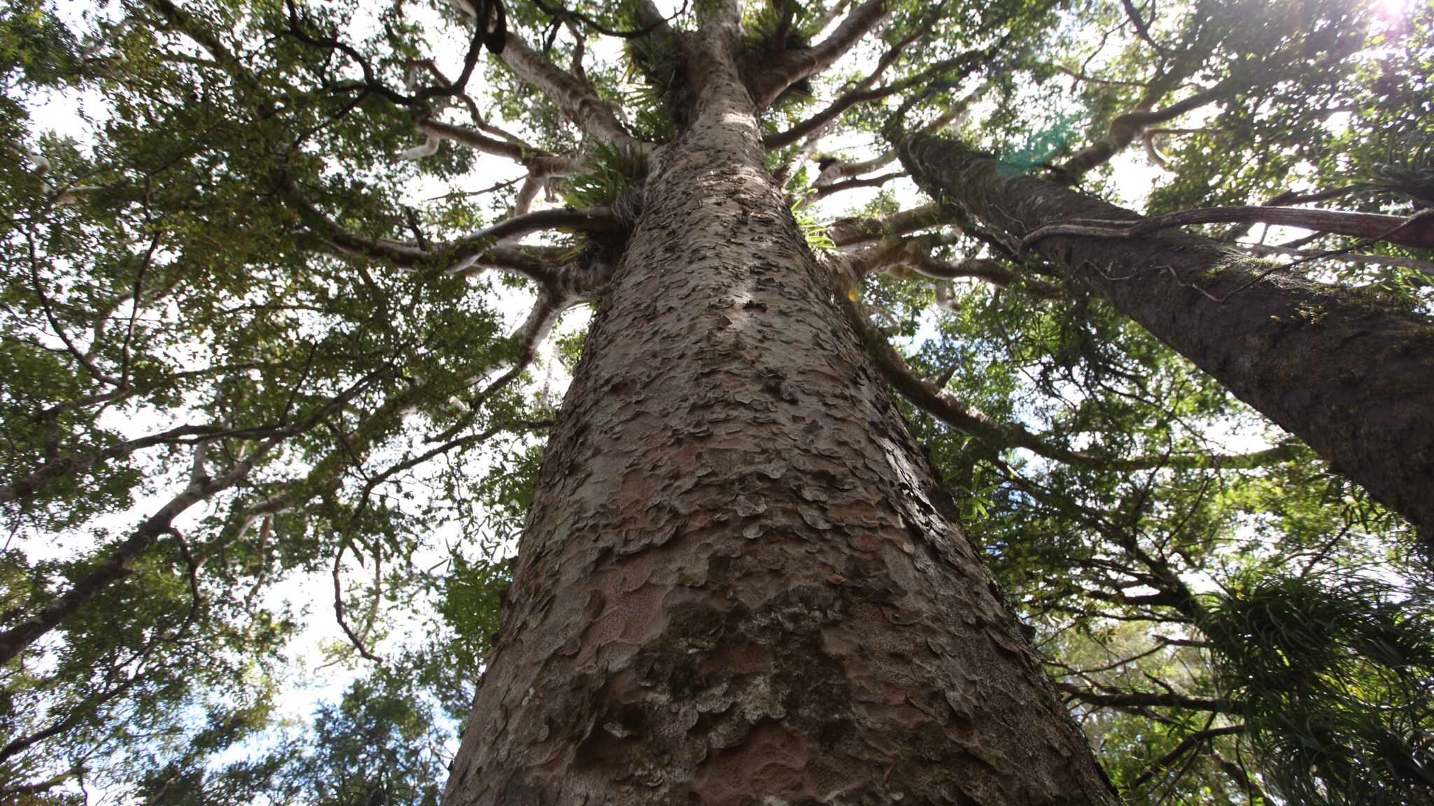 Waiau Falls and Kauri Grove Lookout Walk: Walking and tramping in ...